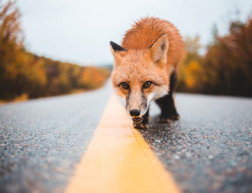 Incidente stradale causato dalla fauna selvatica