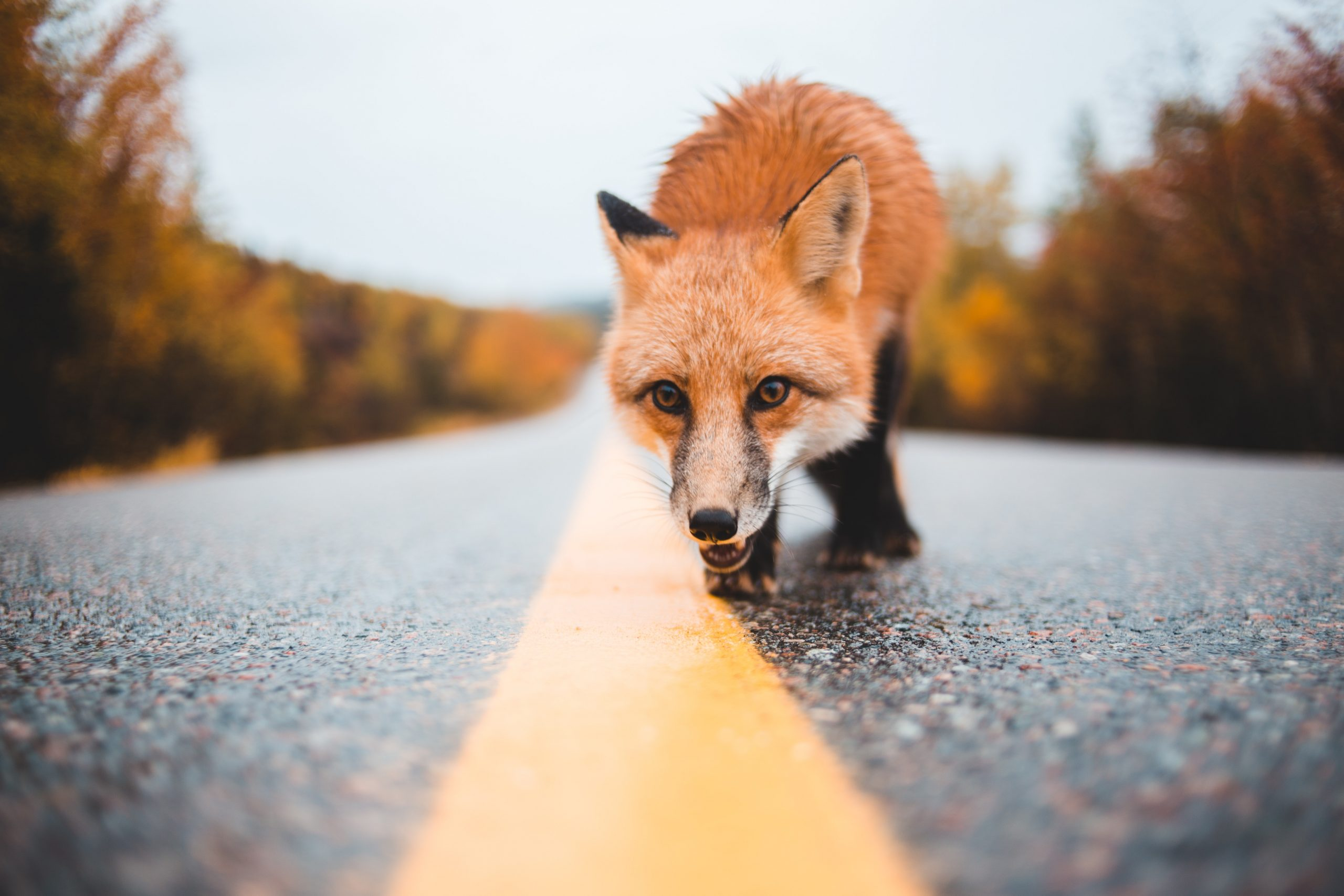 incidente stradale fauna selvatica